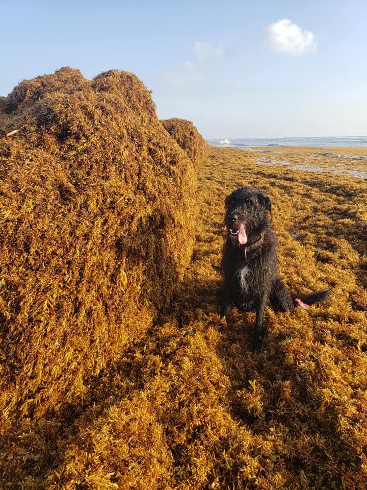 Sargassum seaweed- credit Cristina Maldonado