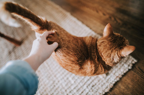 cat-being-scratched-in-a-house-with-asthma