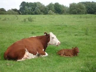 cow and calf by QMULUniversity of Nottingham
