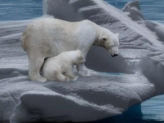nobel polar bear