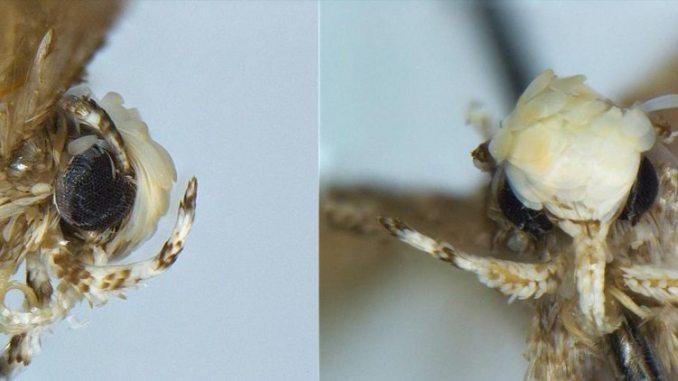 Trump moth