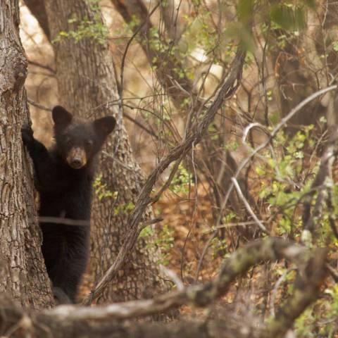 Black Bear Cub, Patagonia Mountains | Sky Island Alliance