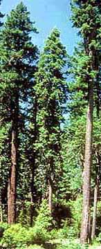 douglas fir tree picture