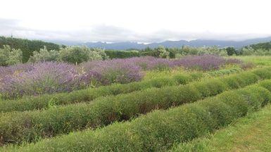 Bert's lavender
