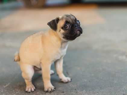 Pug puppy deficating.
