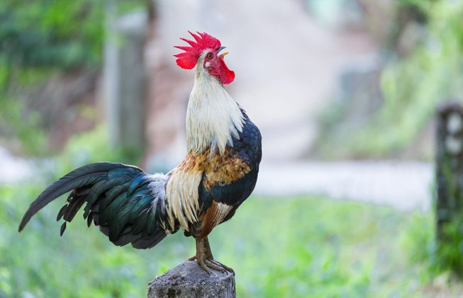 7 Amazing Scientific Facts on Why Do Roosters Crow