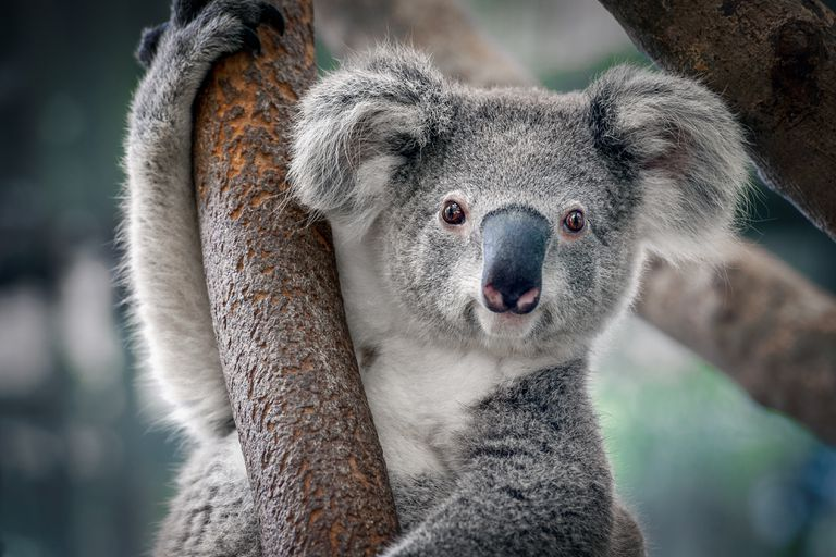 9 Things You Didn T Know About Koalas