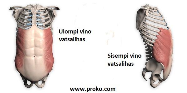 Vinot vatsalihakset