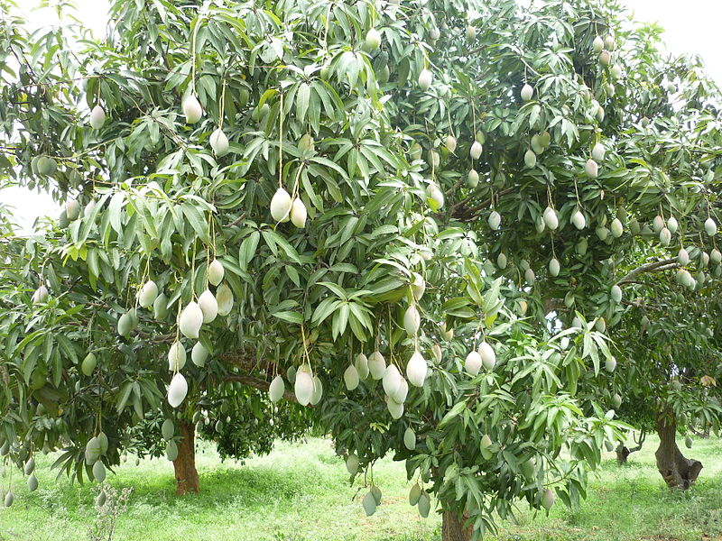 Image of a cluster of mango trees
