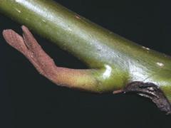 http://www.tree-guide.com/caucasian-wingnut