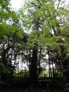伊勢神宮の木々