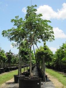 sun and shade trees SAMANEA SAMAN (RAIN TREE / MONKEY POD) 200 GAL