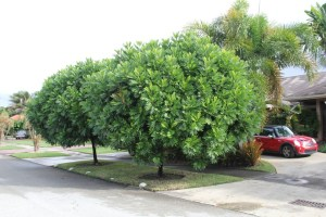 key issues facing street cultivation FILICIUM DECIPIENS (JAPANESE FERN TREE) SPECIMEN