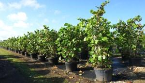 trees are important COCCOLOBA UVIFERA (SEA GRAPE) 45 GAL