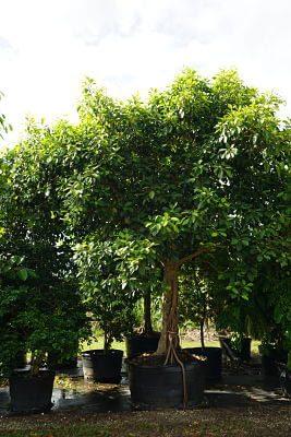 Ficus Benghalensis (Banyan))200 Gal