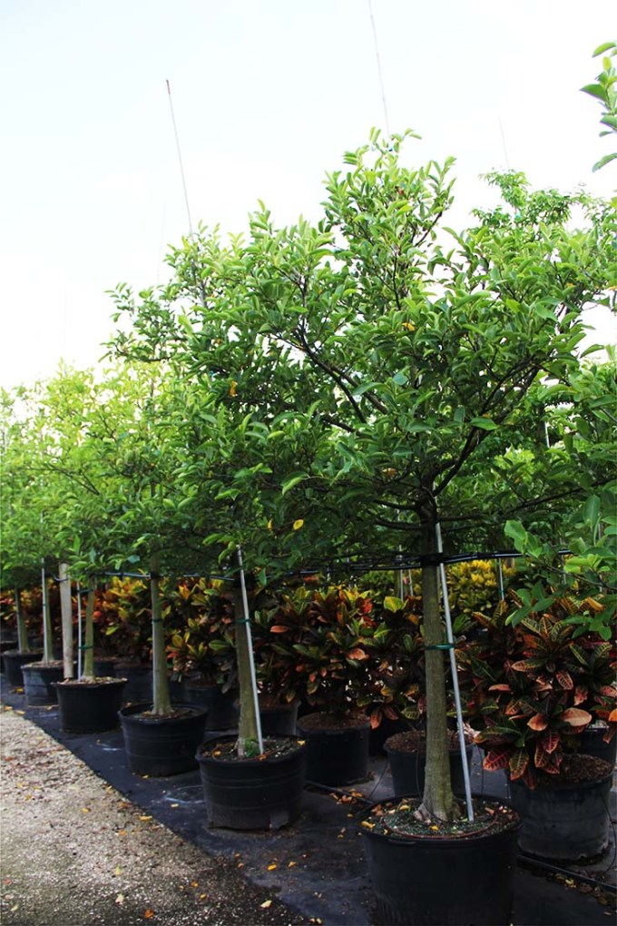 100 gallons pachira glabra known as fren peanut at TreeWorld Wholesale