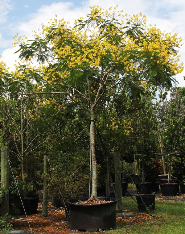 100 gallons Peltophorum Dubium also known as Yellow Poinciana at TreeWorld Wholesale