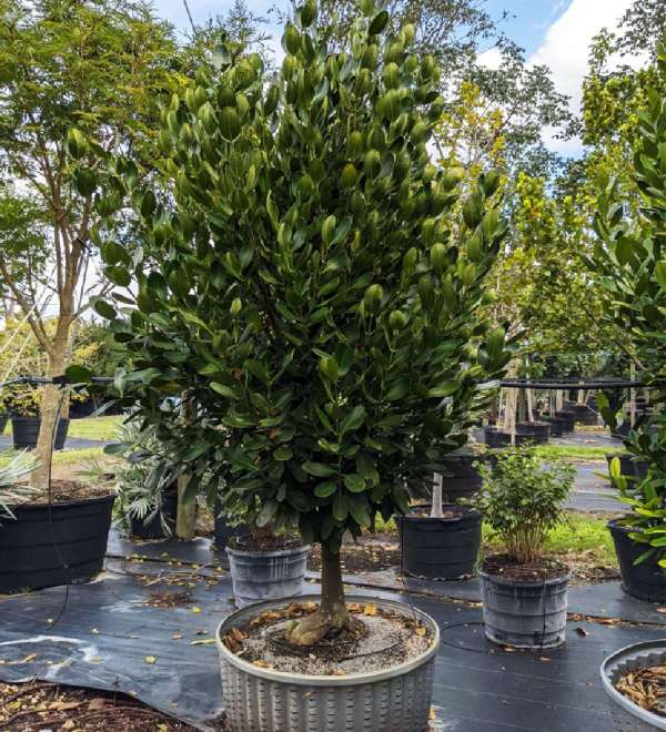100 gallons garcinia spicatta at TreeWorld Wholesale