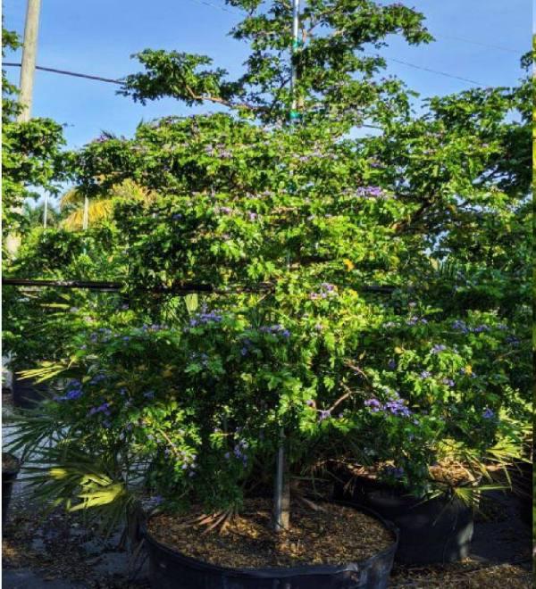 100 gallons Guaiacum Sanctum at TreeWorld Wholesale