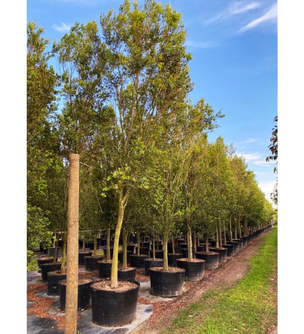 100 gallons spanish stopper tree row at TreeWorld Wholesale