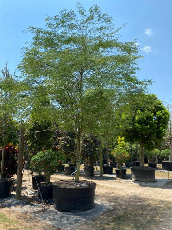 200 Gal Caesalpinia Granadillo at TreeWorld Wholesale