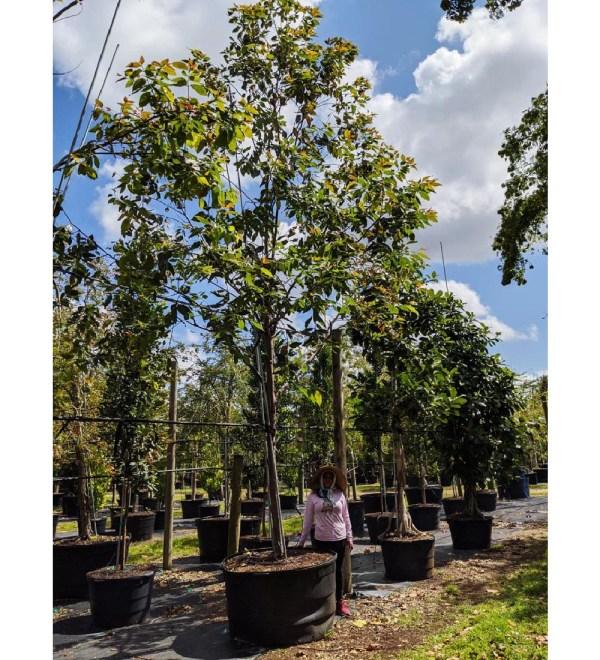 200 gallons eucalyptus deglupta at TreeWorld Wholesale