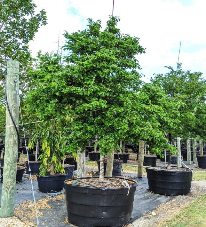 200 gallons Guaiacum Sanctum at TreeWorld Wholesale