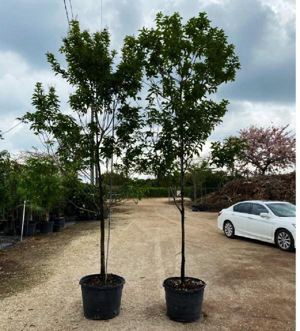 25 gal jamaican dogwood at TreeWorld Wholesale