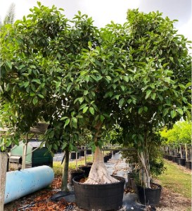 Weeds in trees part 2 300 gallons ficus aurea at TreeWorld Wholesale