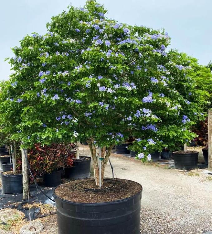 300 gallon Guaiacum Officinale at TreeWorld Wholesale