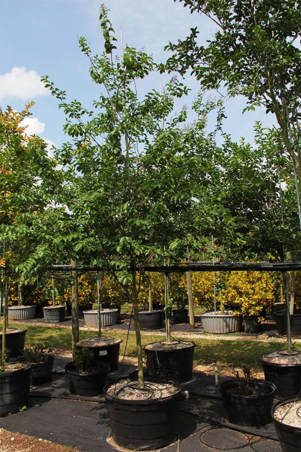45 gal lagerstroemia indica 2 at TreeWorld Wholesale