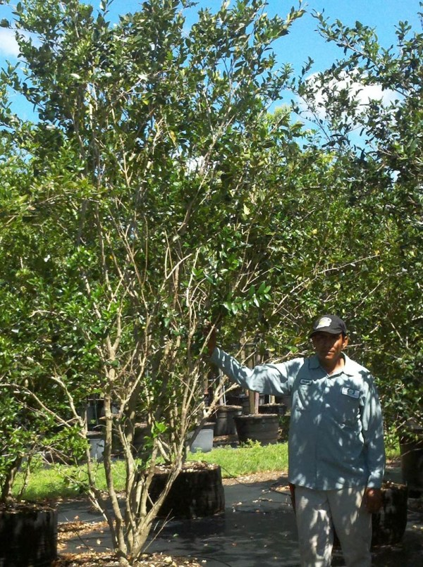 45 gal ligustrum lucidem bush at TreeWorld Wholesale