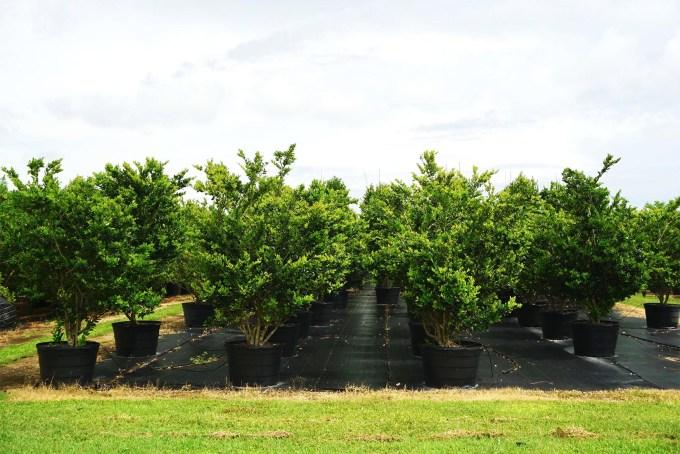 45 gal ligustrum lucidem bush at TreeWorld Wholesale