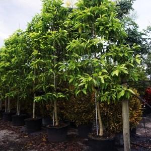 45gal Michelia Champaca (Orange Champaca)