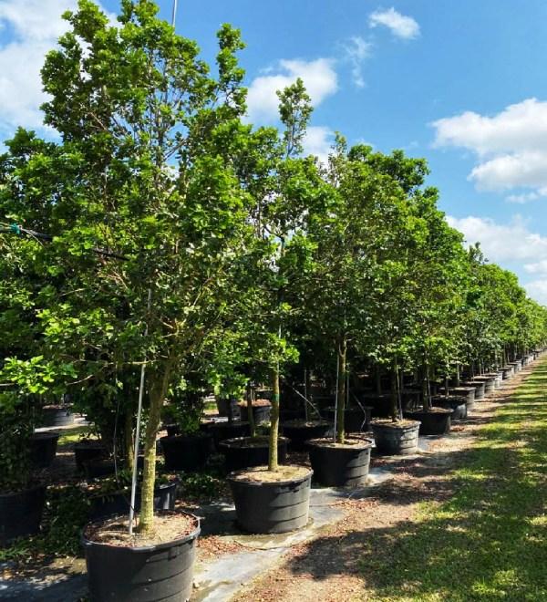 50 gal black ironwood at TreeWorld Wholesale