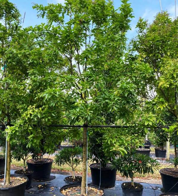 50 gallons Exothea Paniculata (Inkwood) at TreeWorld Wholesale