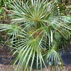50 gallons eucothrinax morrisii at TreeWorld Wholsale