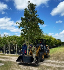 plant a tree in South Florida65 gallons mastic Mastichodendron Foetidissimum (Mastic)