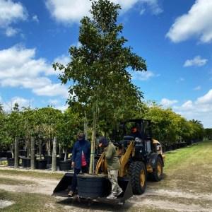 65 gallons mastic Mastichodendron Foetidissimum (Mastic)