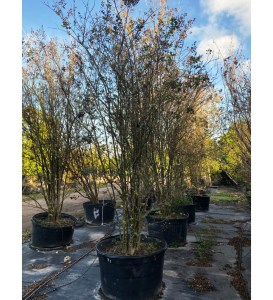 Components Of Trees 65 gallons crape myrtle tree row at TreeWorld Wholesale