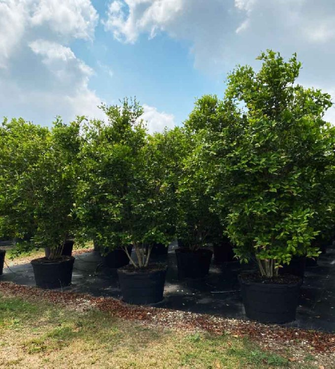 65 gallons myrtle of the river bush at TreeWorld Wholesale