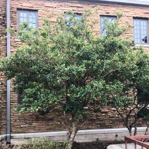 Ligustrum Japonicum (Recurvifolium)