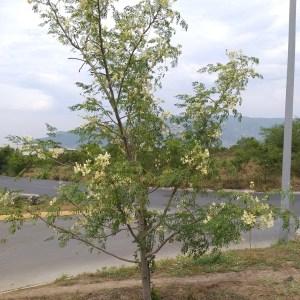 Moringa Oleifera (Drumstick Tree)