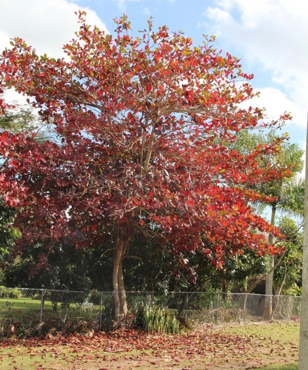 Acer Rubrum known as Red Maple Specimen at TreeWorld Wholesale