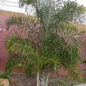 Dypsis Madagascariensis 'Mahajanga'