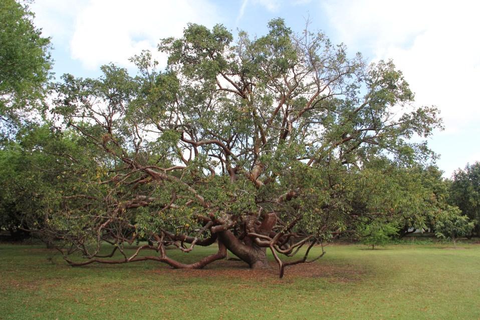 Bursera simaruba (Red Trunk-Belize)
