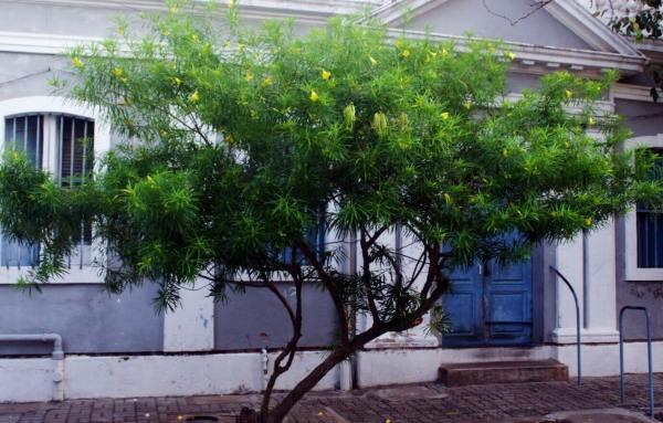 Thevetia peruviana (Lucky nut)