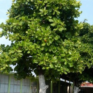 Terminalia catappa (Pacific Almond)