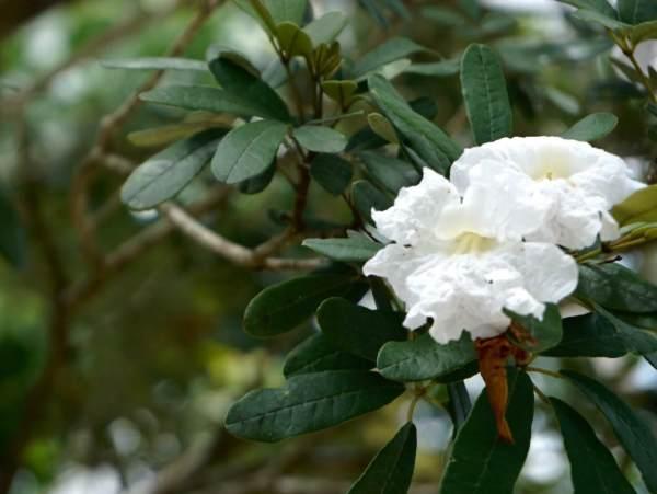 Tabebuia bahamensis (White tabebuia)