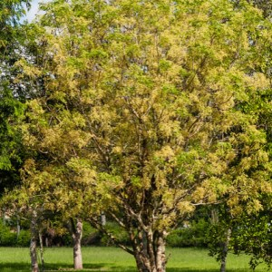Zanthoxylum flavum (Satinwood)